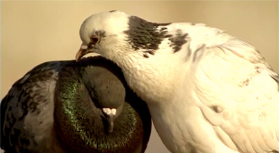 Zwei Tauben sitzen nebeneinander. Die eine Taube pflegt die andere mit ihrem Schnabel. Erklärfilm der Filmproduktion Karlsruhe aus dem Bereich Wissenschaft für eine Ausstellung des Senckenberg Museums. Bild auf der Seite Portfolio.